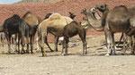 Guelmim : le marché aux dromadaires, chèvres et moutons