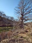 Hochwasssermarke - man achte auf das Gestrüpp im Baum