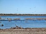 Lake Amistad - viele Wasservögel
