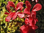 kräftiges Herbst-Rot