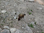 Ein Marmot lebt...