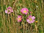 überall blühen fein duftende Wildrosen