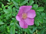 Strand-Rose