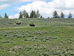 Yellowstone Buffalos