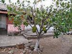 Guanàbana Tree...