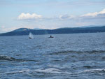 Orcas - Whale Watching