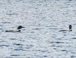 ...und 2 Loons baden auch...