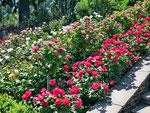 Portland - die Stadt der Rosen