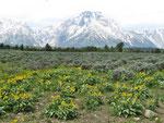 Mt. Moran mit Balsam Pfeilkraut-Wiese