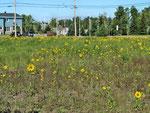 ...einem Sonnenblumenfeld