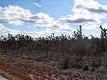 Yucca-Wald