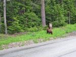 Olympic Park Road - viele Bären