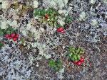 Partridgeberries - noch nicht ganz reif
