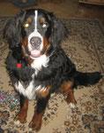 NEMO, Berner Sennenhund, März 2011
