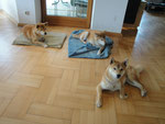 CHICO, ZIA, YUUKI, Shiba Inu, Juni 2015