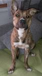 SAANA, American Staffordshire Terrier, Juli 2014