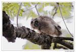 Hibou moyen-duc - Asio otus - Long-eared Owl