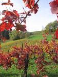 Weingarten im spätherbst