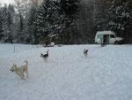 Lustvolles Herumjagen im Schnee, auf einem grossen eingezäunten Areal