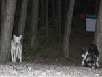 Husky-Camp mit freier Übernachtung unter dem Sternenzelt