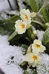 Fleur sous le givre,Photo de Pascale Blotti