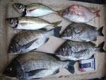 8月29日 ダゴチン釣りで川口さん チヌ35㎝を頭に4匹 アジ25㎝を頭に2匹