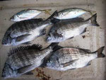 4月11日 ダゴチン釣りで松村さん メイタ31㎝前後4匹・アジ20㎝前後2匹