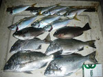 7月21日 磯釣りで澤村さん メイタ30㎝を頭に4匹 クロ25㎝を頭に2匹 アジ24㎝を頭に8匹