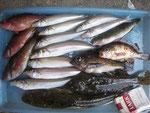 7月5日 ボート釣りで川崎さん キス40匹 サイズは調理済で不明