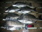 4月2日 磯釣りで川端さん ガバチヌ50.5㎝を頭に6匹