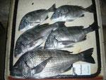 1月9日 磯釣りで松森さん 良型チヌ45.7㎝を頭に5匹。