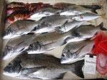 7月25日 ダゴチン釣りで木村さん チヌ41.5㎝を頭に9匹 ガラカブ22㎝を頭に4匹 アジ23㎝を頭に2匹