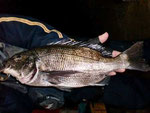 1月9日 磯釣りでMさん 良型チヌ47.1㎝