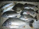 8月3日 ダゴチン釣りで太田さん キビレ38㎝を頭に5匹 アジ2匹 カワハギ1匹