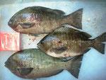 7月14日 磯釣りで釣りバカ正ちゃん クロ26㎝前後3匹