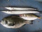 8月21日 磯釣りで杉さん クロ25㎝ アジ20.5㎝ サヨリ37㎝を頭に2匹