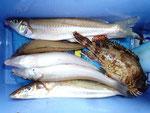 5月30日 ボート釣りで鈴木さん キス24㎝を頭に5匹 ガラカブ1匹