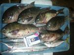 8月19日 磯釣りで仲山さん クロ30㎝~25㎝を6匹 サヨリ37㎝を頭に5匹 アジ20㎝1匹
