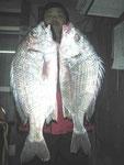 2月5日 磯釣りで前田さん チヌ43㎝と42㎝