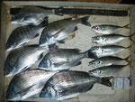 5月3日 ダゴチン釣りで福本さん チヌ38㎝~28㎝7匹・アジ23㎝前後5匹