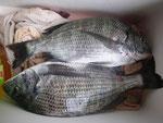 5月2日 ダゴチン釣りでTさん チヌ35㎝を2匹
