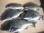 4月1日 ダゴチン釣りで菅田さん チヌ、メイタ4匹