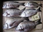 8月19日 ダゴチン釣りで高橋さん チヌ36㎝を頭に6匹