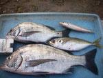 8月8日 ダゴチン釣りで木村さん チヌ40㎝を頭に2匹 アジ・キス1匹