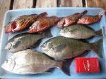 6月5日 ダゴチン釣りで森さん メイタ30㎝ クロ27.5㎝ を頭に3匹 ガラカブ23㎝を頭に4匹