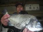 4月5日 磯釣りで岩嶽さん 良型チヌ47㎝を頭に7匹
