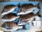 4月29日 ダゴチン釣りで鍬先さん メイタ30㎝~25㎝・5匹