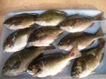 6月9日 磯釣りで阿部さん クロ25㎝を頭に9匹