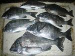 4月4日 磯釣りで岩尾さん チヌ、メイタ6匹 クロ1匹