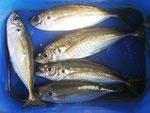 6月27日 ダゴチン釣りで山本さん アジ23㎝前後を5匹